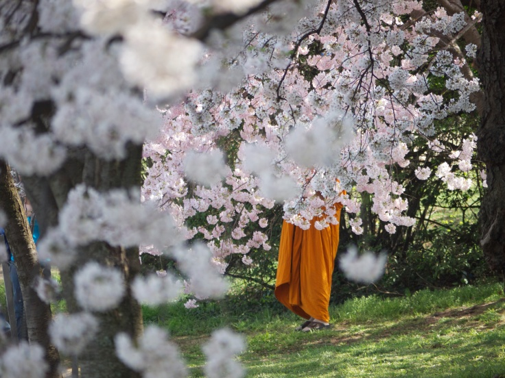 monk in cherry blossoms