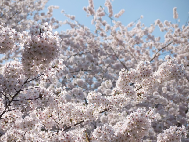 lots of cherry blossoms