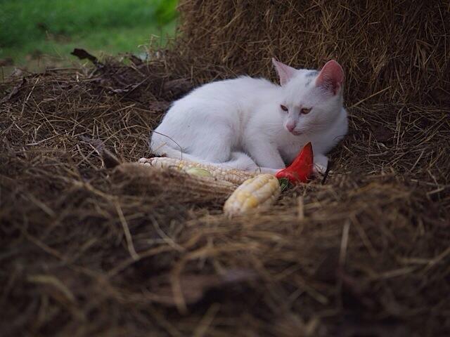 cat_with_corn.jpg